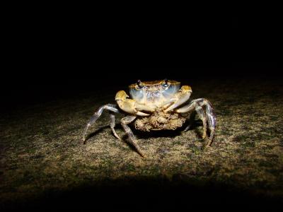 淡水蟹的图片 世界上最大的淡水蟹,最大淡水蟹图片